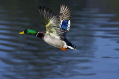 Mallard flying. Over a little lake Royalty Free Stock Photos