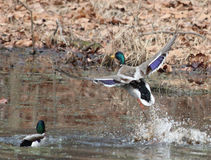 Mallard Flying 1. A Mallard Flying And His Reflection Upon A Fall Pond Royalty Free Stock Photography
