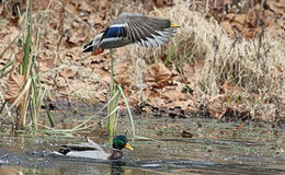 Mallard Flying 3. A Mallard Flying And His Reflection Upon A Fall Pond Royalty Free Stock Images