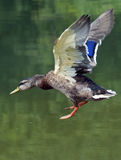 Mallard flying into lake. Mallard landing in a lake Royalty Free Stock Images