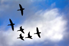 Mallard flying. Mallards fly past the clouds, background Stock Photos
