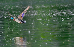 Mallard flying over the lake. In the spring with emerald water Stock Photography