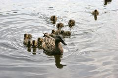 Mallard followed by little wild duck babies Royalty Free Stock Image