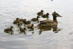 Mallard followed by little wild duck babies Royalty Free Stock Image