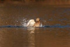 Mallard fun in the water. Mallard splash fun in the water Stock Image
