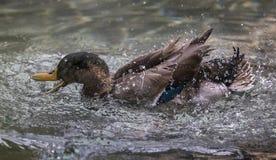Splish, Splash:  A Mallard Gets Frisky Royalty Free Stock Photos