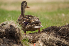 Mallard in the Grass. Female Mallard in the Grass sunning itself Stock Photography