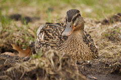 Mallard in the Grass Stock Photography