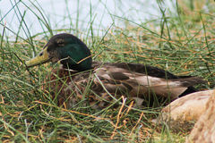 Mallard in Grass. Mallard resting in long grass in front of a small lake at Hart Park in Bakersfield, Ca Royalty Free Stock Images
