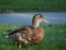 Mallard in grass. A mallard standing in green grass with a blurry lake in the background Stock Photo