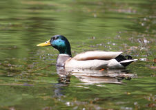 Mallard Green Headed Duck Anas platyrhynchos - Male Royalty Free Stock Image