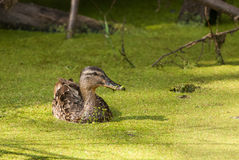 Mallard in green. Juvenile mallard swimming in a pond full of green pollen Royalty Free Stock Photography