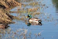 Mallard Greenhead Duck Stock Photo