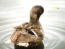 Mallard Grooming 1 Royalty Free Stock Photos