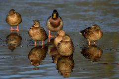 Mallards on the frozen pond, winter. Mallard group on the frozen pond, winter, anas platyrhynchos Stock Photography