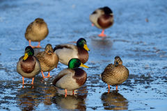 Mallard group on ice. Anas platyrhynchos, germany Stock Photo