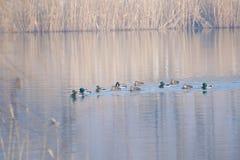 Mallard. A group of mallard is swimming in winter river. Scientific name: Anas platyrhynchos Stock Image