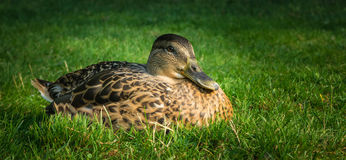 Mallard in Hatanpaa Arboretum. A female mallard resting in the Hatanpää Arboretum in Tampere, Finland Royalty Free Stock Photo