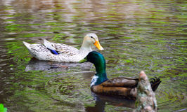 Mallard Hen and Drake Royalty Free Stock Photo