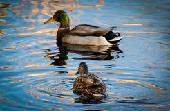 The Mallard and Hen. Mallard duck and a hen float in the cold winter waters in Utah USA Royalty Free Stock Image