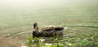 Mallard Hen. Duck on the river in East Tennessee Stock Images