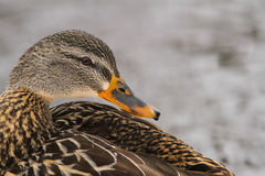 Mallard Hen Duck Side Profile. A side profile of a mallard hen duck Royalty Free Stock Photo
