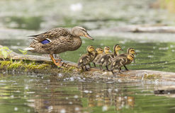 Mallard Hen and ducklings Stock Image