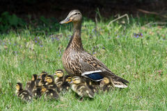 Mallard Hen and Ducklings. A Mallard hen and her ducklings on their way to the creek Royalty Free Stock Image