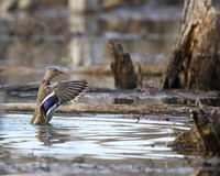 Mallard Hen Flapping. A mallard hen flapping her wings Stock Photography