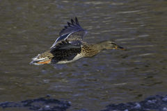 Mallard hen. Flying down an icy river Stock Image