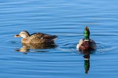 Mallard Hen and Mallard Drake Enjoying a Morning Swim in the Lak. Mating Pair of Mallard Ducks Swimming in a Clear Blue Lake Stock Photos
