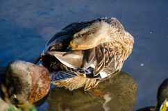 Mallard Hen Molt Preening. Mallard Eclipse Molt Preening feathers on pond in walton county georgia Royalty Free Stock Image