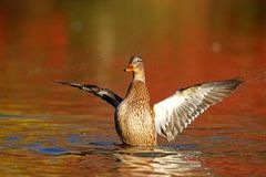 Free Mallard Hen On Orange Water In Fall At Dusk Stock Photo - 129962840