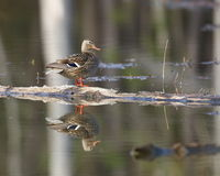 Mallard Hen Perched on a Log. A mallard hen perched on a log with a clear reflection Stock Photos