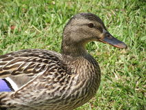 Mallard hen. Royalty Free Stock Images