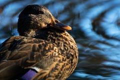 Mallard Hen Rings. Mallard Hen closeup in pond rings Stock Images