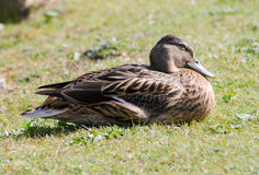 Mallard Hen. Single Female Mallard Duck, resting on grass Stock Image