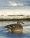 Mallard Hen. Sitting on thin ice on a pond Stock Photos