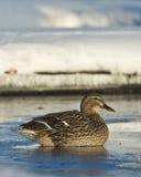 Mallard Hen. Sitting on thin ice on a pond Stock Photos
