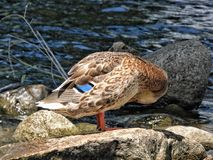 Mallard Hen. Standing on a rock cleaning it& x27;s feathers Stock Images