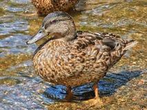 Mallard Hen. Standing in shallow water Stock Photography