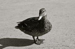 Mallard hen stands on paved roadway. Stock Photo
