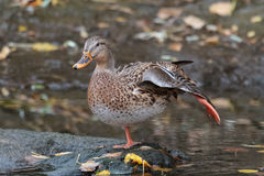 Mallard Hen Stretching Her Leg Photographie stock libre de droits