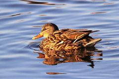 Mallard Hen on a sunny day. Mallard hen photographed in Chincoteague National Wildlife Refuge, which is a popular stop on the Atlantic Flyway Stock Photo
