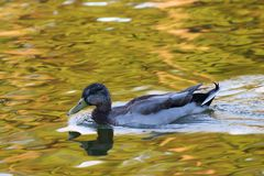 Mallard Hen Swimming photographie stock libre de droits