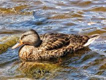 Mallard Hen Swimming Stock Image