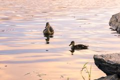Mallards swiming. Mallard hen swimming with her chicks in the sunset colors Royalty Free Stock Photography