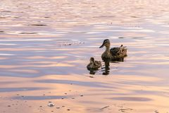 Mallards swiming. Mallard hen swimming with her chicks in the sunset colors Royalty Free Stock Photos