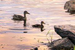 Mallards swiming Royalty Free Stock Photography