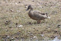 Mallard-Hen Anas platyrhynchos. Mallard hen walking through a park in early spring Stock Images